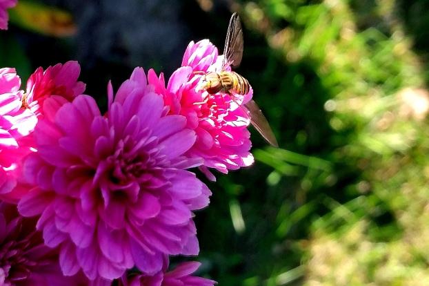 Noch ein Sumsetier auf violetter Blume