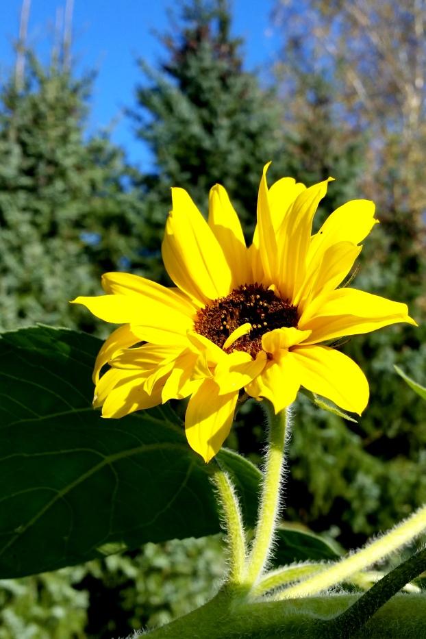 Die letzten schönen Sonnenblumen