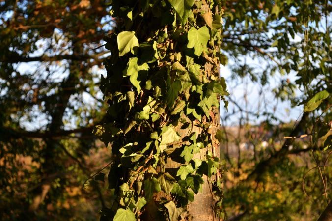 Der Efeu hält den Baum warm.