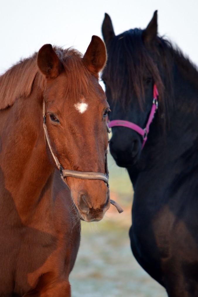 Zwei kuschelige Pferde...
